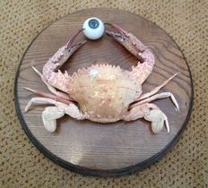 Unusual taxidermy - Atlantic Crab, holding replica Human Eye, on hardwood shield -  Callinectes sp. - 2235mm - 690gm