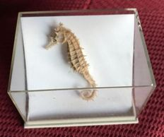 Lovely dried Seahorse in acrylic case - Hippocampus rafinesque - 6cm