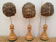Horsfield's Tortoise full carapaces - baby tortoises - Agrionemys horsfieldii - 110mm with stand - carapace 45 x 38mm  (3)