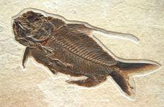 Top quality fossil fish - Nematonotus longispinus - 86 mm / 3 1/2""