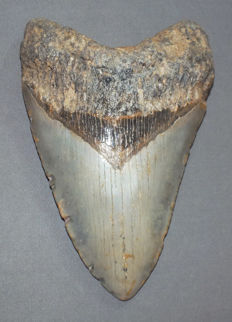 Lee Creek - Huge fossil shark tooth - Carcharocles Megalodon - 14,6 cm