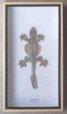 Taxidermy - Flying Gecko in a wood display case - Ptychozoon sp. - 23 x 12.5cm