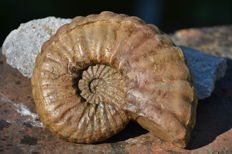 Ammonite fossil - Eucalycoceras 14 cm, weight 890 grams
