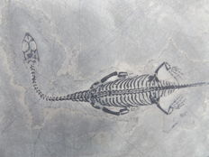 Swimming reptile - Keichousaurus hui - 14.5 cm (16.8 cm in stretched position)
