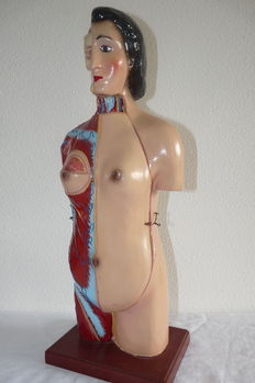 Complete old anatomical torso model