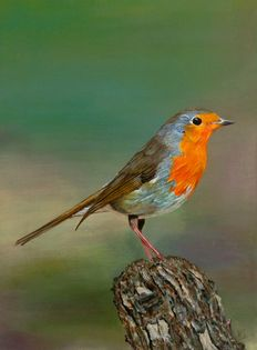 Unknown (20th century) - Robin on tree stump