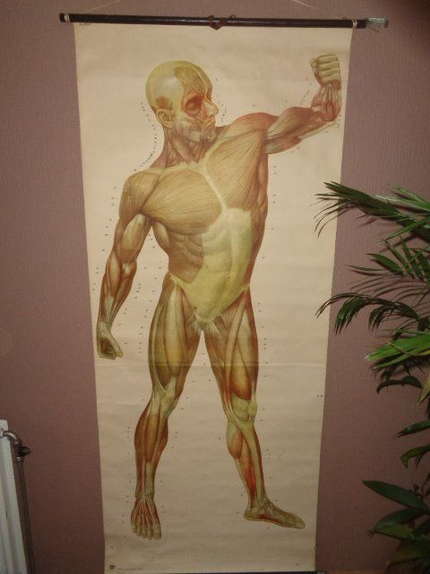 Beautiful old life-size Anatomical school poster/school map of ...