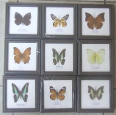Collection of Exotic Butterflies in wood frames - 12 x 12cm  (9)
