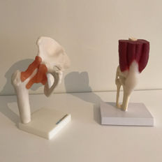 Two anatomical models: Knee and hip.