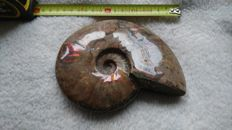 Ammonite with iridescent shell - Cleoniceras sp. - 155 x 125 mm - 660 g
