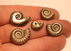 Group of 5 mixed species -  Promicroceras, Oxynoticeras, Polymorphite, Microderoceras, Gleviceras  - Iron Pyrite Ammonite fossils 18mm - 11mm