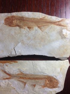 Two fish fossils - unique Asian fish