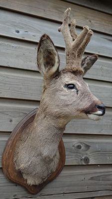 "Taxidermy - nicely mounted Roebuck with antlers ""in velvet"", on hardwood shield - Capreolus capreolus - 30 x 25 x 60cm"