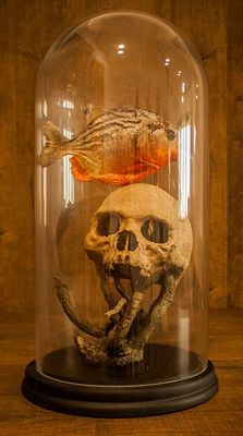 Curious taxidermy - Red-bellied Piranha in Gothic-styled glass display case - Pygocentrus nattereri - 40cm