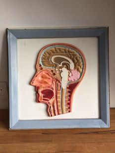 Vintage school plate with the anatomy of the human head - ca. 1960 - France