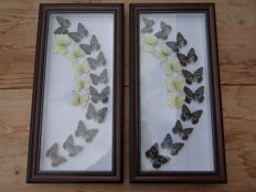 Artistic Exotic Butterfly displays - de-luxe frames - 24 x 48cm  (2)