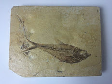 Block with two fossil fishes - Diplomystus dentatus - Kemmerer, Wyoming - 16x13x2 cm