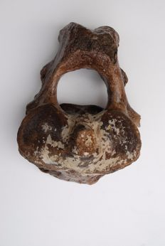 Woolly Mammoth (Mammuthus primigenius) - Axis - length 21cm