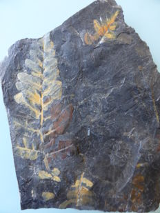 Fossiler fern - Pecopteris sp. and Annularia - 13 x 12cm
