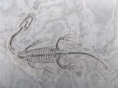 Swimming reptile - Keichousaurus hui - 7.5 cm (10.3 cm in stretched position)