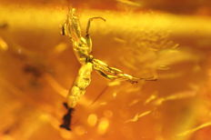 Baltic Amber Insect family of termites - 13x10 mm