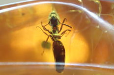 Mega ant in the Baltic natural amber - 15,6x12mm