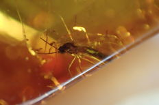 Fly with inclusions in natural Baltic amber - 14.60 x 10.88 mm