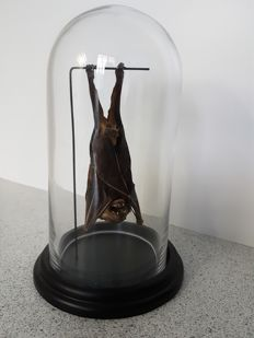 Taxidermy - Lesser Short-nosed Fruit Bat in glass dome - Cynopterus brachyotis - 23cm