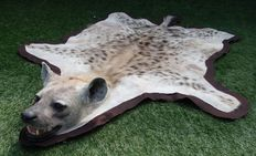 Top quality taxidermy - Spotted Hyena, felt-lined and with finely detailed Head - Crocuta crocuta - 185 x 130cm