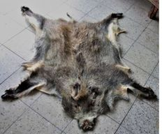 Wild boar hide, with snout and hooves (+/- 130 x 120 cm)