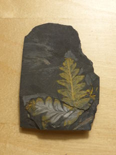 Fossil plants in shale (Marioopteris) - 100x73x31mm 249g