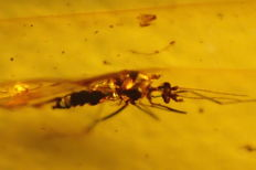 Baltic amber fly and inclusion 2,4x1,3 centimeters