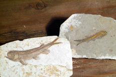 2 beautiful fossilized fish of the genus Lycoptera (4.9 - 7.6cm/ 30 - 48g)