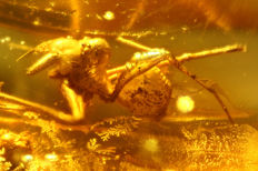 "Prehistoric spider ""ARCHAEAE PARADOXA"" in Baltic Amber 0.4cm"