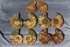 Five Ammonites Cleoniceras sp. - 91 to 109mm -  1049 grams (5)