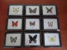 A collection of Exotic Butterfly and Moth display cases - 14 x 12cm  (9)