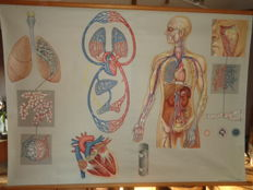 "Big old Anatomical school poster / school map of ""Breathing and blood circulation"""