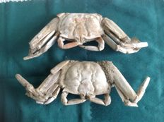 Fossil crabs - Pleistocene 13,7 x 4,8 x 2,3 and 13 x 5 x 2,5 cm, approximately.