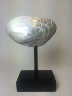 Hand-polished Mussel shell mounted on walnut base - Pteriomorphia - 22 x 28.5 x 10cm