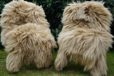 Lot of 2 beautiful large XXL long hair lambskins / sheepskins in a subtle shade of beige