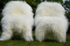 Two very large XXL - genuine - natural white - longhair Icelandic sheepskins/lambskins