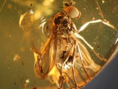 Baltic Amber perfect 2 flies  inclusion