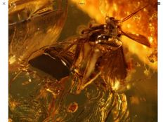Baltic Amber Fly LAYING EGGS inclusion Rare scene 5.6 grams !!!!!!!