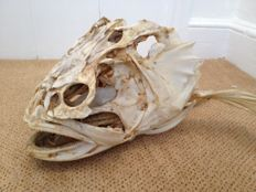 Antique Fish skull - likely Arapaima gigas - 27 x 18 x 21cm - 880gm