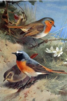 13 ornithological prints by Archibald Thorburn (1860-1935) from 'British Birds' - 1926