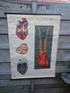 Anatomical wall poster: 'The heart' and 'The digestion'