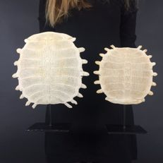 A Fine Pair of Chinese Softshell Turtle carapace skeletons, with stands - Pelodiscus sinensis - 27 x 20cm  and 29 x 25cm  (2)