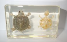 Taxidermy - Red-eared Slider Turtle with full skeleton - encased in lucite block - Trachemys scripta elegans - 87 x 57 x 20mm - 200gm