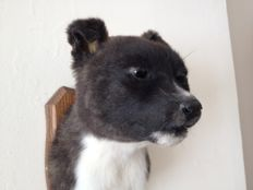 Taxidermy - delightful Staffordshire Bull Terrier pup, shoulder-mount on wall-plaque - Canis familiaris - 24 x 13 x 21cm - 970gm