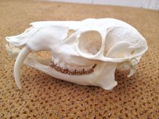 Top quality Chinese Water Deer skull -  Hydropotes inermis - 17 x 7 x 8cm - 116gm